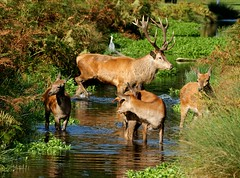 Paddle Time (paulinuk99999 (back in Ghana)) Tags: park red stag rude surrey deer explore antler rut bushey bushy rutting paulinuk99999 sal70400g