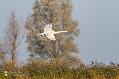 Zwanen / Mute swans (Dennis_Smit) Tags: bird birds canon wildlife natuur lelystad almere zwaan oostvaardersplassen wildlifeimages zwanen knobbelzwanen eos7d canoneos7d dennissmit smitfotografie