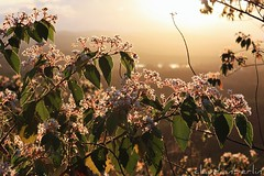 (claudianberlin) Tags: pink flowers light sunset sun leaves yellow backlight australia queensland sunshinecoast backlighting mttimbeerwah