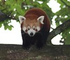 "Red Panda • <a style=""font-size:0.8em;"" href=""http://www.flickr.com/photos/9907391@N02/5085763321/"" target=""_blank"">View on Flickr</a>"