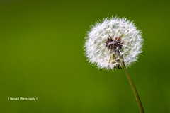 dandelion (S.H.P.) Tags: travel usa white plant flower green nature closeup canon photography spring blossom natur pflanze dandelion 7d f2 mm grn blume wildflower weiss asteraceae 2010 frhling hense taraxacum lwenzahn pusteblume blowball officinale 135l wiesenblume wildblume wildpflanze flickraward5