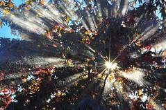 Enlighten Me (Red Zen Photography) Tags: autumn tree leaves sunburst spiritual waterdrops enlighten redmapletree waterandsunlight redzenphotography melissaktran