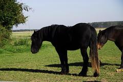 cheval noir (pontfire) Tags: horses horse france animal caballo cheval normandie animaux normandy cavallo cavalo pferd 2010 chevaux 馬 лошадь סוס ノルマンディー الحصان quatremare