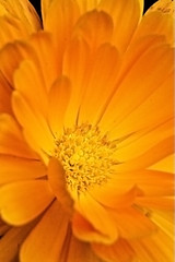 Calendula - IMG_6177 (JamesDPhotography) Tags: orange flower macro yellow canon tube ef28135mm calendula macrophotography potmarigold kenkoextension canon40d wonderfulworldofflowers
