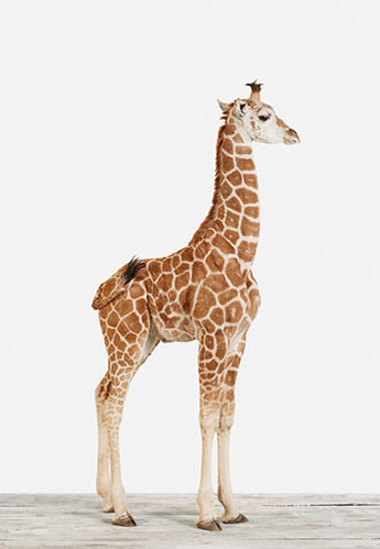 baby-giraffe-sharon-montrose