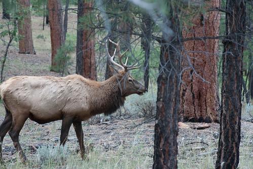 Male Elk 2