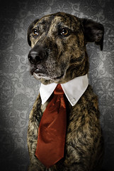 Back to the basics.... (chad.latta) Tags: portrait rescue dog chien animal costume mix nikon lab sam chad gap dressup tie suit perro boxer latta d80 boxador ldlportraits