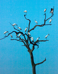Wood storks (low light)