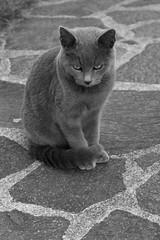 gratto ghigio (formicacreativa) Tags: grigio gatto micio gattino selciato micetto