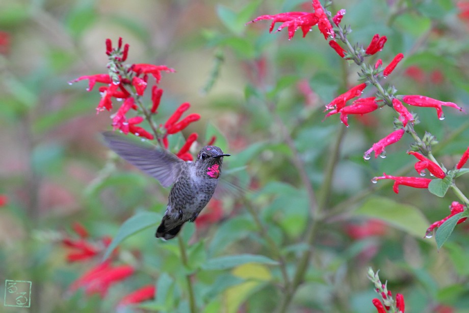 Anna's Hummingbird 10181