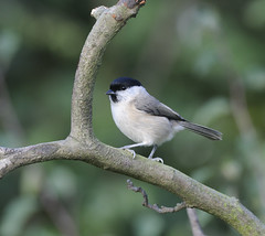 Marsh Tit. (mike.lawrence-images) Tags: brown black mike nature birds yahoo lawrence google nikon tit tits wildlife seed farmland finches cap marsh feeders birdwatching songbirds d300 rspb gardenbirds