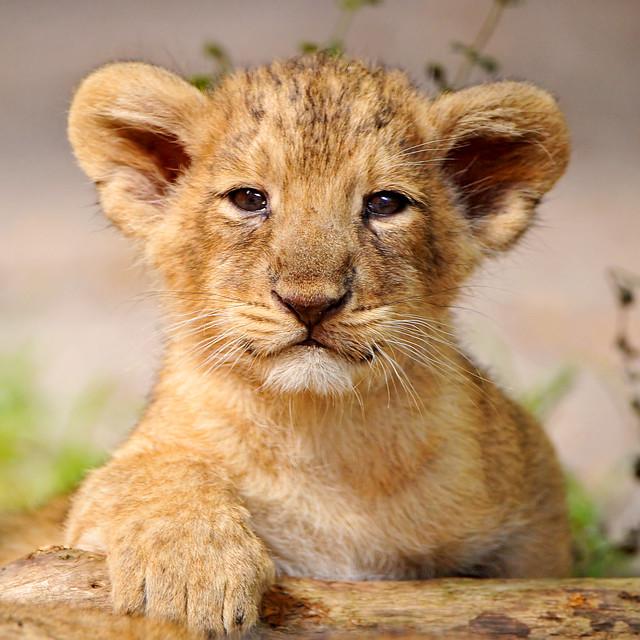 Proud posing cub!