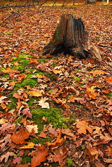 It's Over ... (DSF_8256) (masinka) Tags: park autumn usa ny newyork green fall leaves outdoors us moss buffalo woods warm unitedstates state over upstate hike rochester trail fallen stump western letchworth mtmorris
