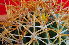 Ferocactus chrysacanthus (Cacti & Succulents) Tags: ferocactus chrysacanthus