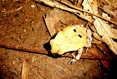African Giant Toad (julie.dewilde) Tags: giant african toad congo bufo bufonidae superciliaris amietophrynus