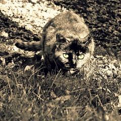 Ready to Strike (Truebritgal) Tags: autumn pet cute fall nature monochrome grass leaves sepia yard cat backyard kitty tortoiseshell coloring ready strike pounce colouring selective kittycat selectivecolouring selectivecoloring truebritgal