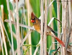 Cardinal - Bayou Courtableau, Louisiana (Image Hunter 1) Tags: red green nature grass birds reeds louisiana cardinal bayou cattails swamp marsh t2i birdslouisiana bayoucourtableau canont2i