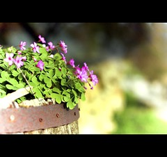 Live now, believe me, wait not till tomorrow; Gather the roses of life today. (Explored) (*karla) Tags: pink flowers canon rebel 50mm dof bokeh xsi