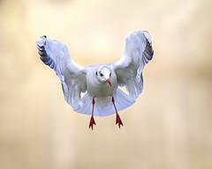 Gull (Andrew Haynes Wildlife Images) Tags: bird nature wildlife gull coventry warwickshire blackheadedgull coombeabbey canon7d ajh2008