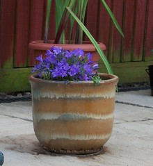 Canpanular (webBev48.) Tags: flowers pretty purple flowerpot cheerfull