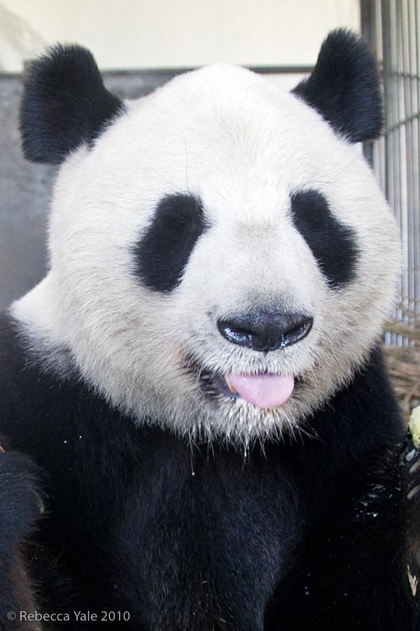 RYALE_Panda_Bears_27