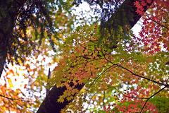 Maple Kaleidoscope In November (aeschylus18917) Tags: flowers autumn trees tree fall nature leaves japan garden season leaf maple nikon seasons fallcolors autumncolors japanesemaple  mapletree kouyou saitama    acerpalmatum  mapleleaves pxt  sayama koyo saitamaken koyou     japanesemapletree sapindaceae 200400mm 200400mmf4gvr saitamaprefecture irohamomiji  d700  smoothjapanesemaple sayamashi  danielruyle aeschylus18917 danruyle druyle   200400mmf40gvr