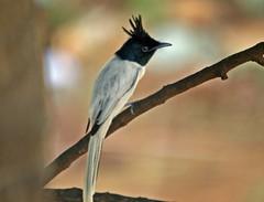 Asian Paradise-flycatcher (Terpsiphone paradisi) (Gurusan2010) Tags: birds tenkasi westernghats terpsiphoneparadisi asianparadiseflycatcher tamilnadubirds sigma120400
