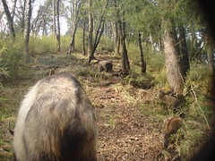 Takin (eMammal) Tags: takin wolong budorcastaxicolor taxonomy:common=takin geo:lon=32628 sequence:index=1 sequence:length=1 otherhoovedmammals taxonomy:group=otherhoovedmammals siwild:study=wolongcameratrapsurvey siwild:studyId=wolongbaitedsets geo:locality=china taxonomy:species=budorcastaxicolor siwild:plot=tangjiahe siwild:location=tjh0809075 siwild:camDeploy=chinadeploy170 geo:lat=104759 siwild:date=200904221705000 siwild:trigger=tjh080907501033 siwild:imageid=tjh080907501033 sequence:id=tjh080907501033 file:name=tjh080907501033jpg sequence:key=1 siwild:region=china BR:batch=sla0620101119044543 siwild:species=12 file:path=dchinachinacameraimagedigitalafter2008tangjiahenaturereservetjh080907501tjh080907501033jpg