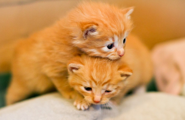 cute ginger kittens playing