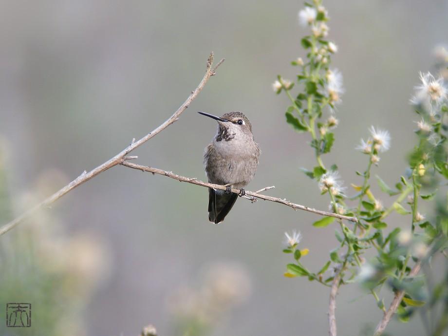 Anna's Hummingbird 2010o1