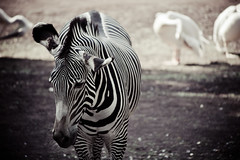 zebra (Explored Nov 20th!) (Clark Tanaka) Tags: 400 ef100300mmf4556usm canoneos5dmarkii f56