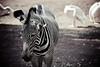 zebra (Explored Nov 20th!) (Clark Tanaka) Tags: 400 ef100300mmf4556usm canoneos5dmarkii ¹⁄₃₂₀秒f56