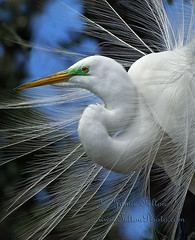 Great white egret in breeding plumage (Jamie Felton Photo) Tags: blue red wild bw green bird nature water beauty animals spectacular outdoors looking display florida wildlife ngc feathers waterbird mating redeye egret whitebird greatwhiteegret supershot specanimal specanimalphotooftheday specanimalphotoofthemonth redwhitebluegreen natureselegantshots flickrsportal aviancloseup greatwhitebreedingplumage naturesfinestbreedingplumage