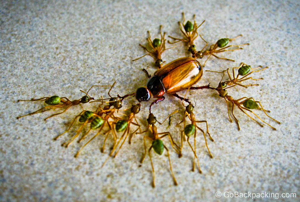 Green ants work together to dismember a beetle - Cairns, Australia