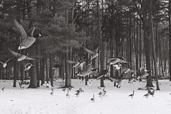 Loch Raven - Geese Flying (Daniel Regner) Tags: county winter snow motion cold nature birds forest lens outdoors 50mm frozen flying geese wings kodak tmax united small flock ducks maryland olympus baltimore reservoir 400 shutter second states asa loch split f18 raven 2008 zuiko wingspan om1