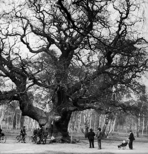 Robin Hood's Oak, Sherman Forest