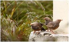 Red Alert!!! (Naseer Ommer) Tags: india bird kerala aves babbler birdsofkerala naseerommer whiteheadedbabbler discoverplanetinternational