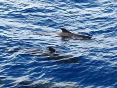 Juntos en medio del ocano (Gomereta) Tags: naturaleza familia azul vista juego siempre juntos atlantico ballenas ocano pilotos unidos cetaceos inmenso