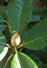20110128 Promising Rhodo bud