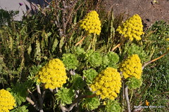 Aeonium arboreum- Tree Aeonium (Marlis1) Tags: flowers spain catalunya crassulaceae succulents poblenou aeoniumarboreum marlis1 treeaeonium baumaeonium
