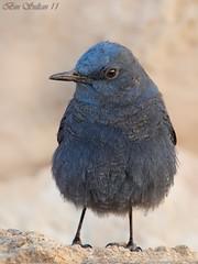 -    () Tags: blue bird lens super bin sultan qatar  potographers   solitarius  wachers monticola  superlens rockthrush potographer         binsultan lesnafi