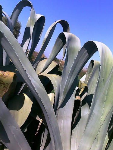 Agave صابرا
