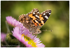 Painted Lady (daverigleyphotos) Tags: macro painted lady butterfly flowers summertime leica 100400mm olympus colour nature nottingham wildlife garden life sea pinks bocca