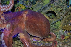 I'd like to be, under the sea, in my octopus' garden... (ucumari photography) Tags: ucumariphotography enteroctopusdofleini giantpacificoctopus animal water greensborosciencecenter greensboro nc north carolina june 2017 dsc7228 specanimal