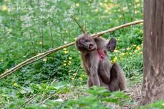 "Gelada Baboon - ""Ouch!"" (Karen Miller Photography) Tags: edinburghzoo zoo captivity captive edinburgh geladobaboon baboon action animal nikon rzss scotland enclosures karenmillerphotography"