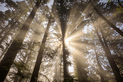 Morning Coffee (Bob Bowman Photography) Tags: light trees fog rays california humboldtcounty patrickspoint camping breakfast mist humboldt nikon landscape morning