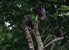 Turkey Vultures trying to make themselves pretty. (Estrada77) Tags: turkey vulture raptors birdsofprey nikon 200500mm foxriver jun2017 summer2017 wildlife