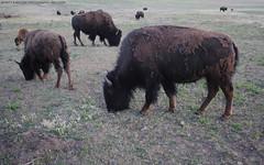 Where the Buffalo Roam... (Infinity & Beyond Photography) Tags: buffalo buffaloes