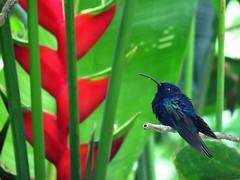 VISA_2017b (Surfishrink) Tags: violetsabrewing campylopterushemileucurus hummingbird guatemala centralamerica antigua fincaelpilar wild birds wildlife nature