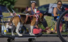 Dog On Skateboard (swong95765) Tags: dog canine animal pet riding sjateboard unusual unique entertainment spectacle